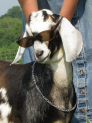 Mini Nubian dairy goats are lots of fun!
