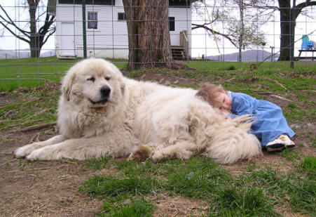 Our First Great Pyrenees Now Ped On They Are Soooo Good With Children