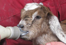 How to Feed a Baby Goat